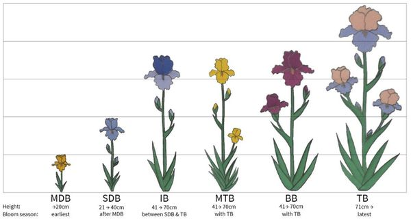 The different types of Bearded Iris flowers explained.....